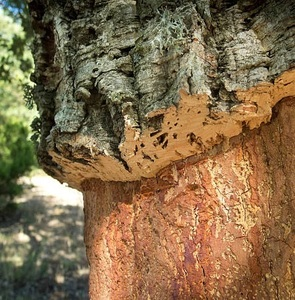 Stripped Cork Tree Bark
